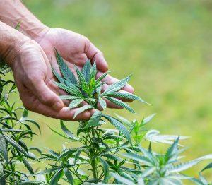 Mit Cannabis Gesundheit und Wohlstand